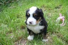 cucciolo maschio N 3 BLASCO